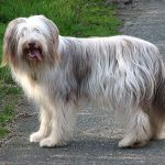 600px-bearded_collie