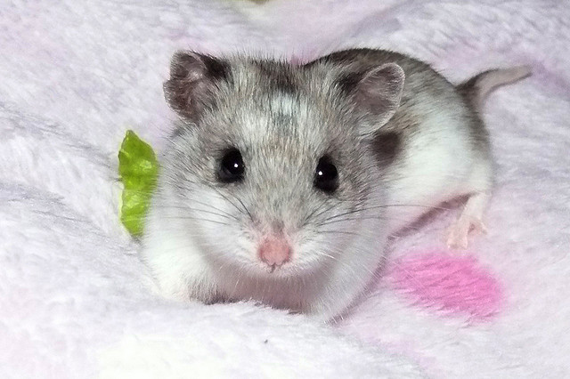 chinese-hamster
