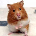 hamster-196737-1372924847_500x0