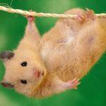 helemor-com-hamster