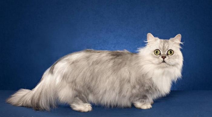 Blueskies Juno is a Napoleon cat