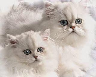 persian-cat-5
